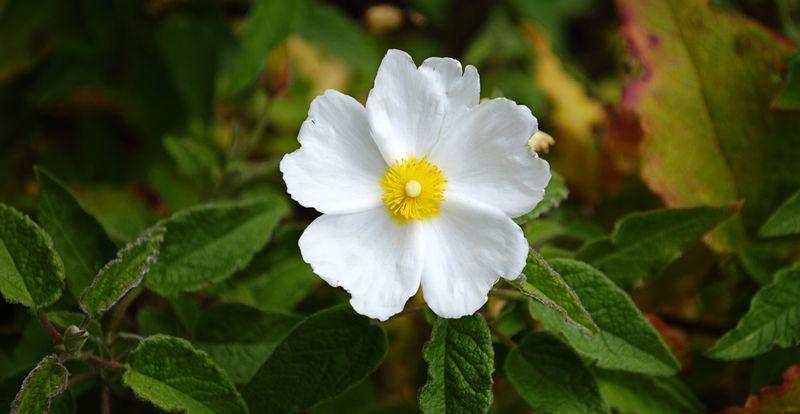 Whiteflowerweb