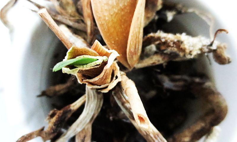 Orchidgreenshootweb